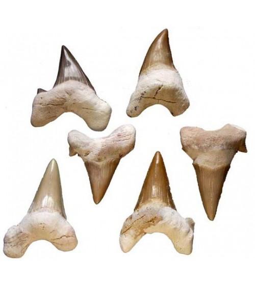 Dent de Requin Blanc